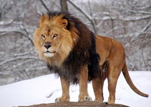 aslan 300x214 Kediler Hangi Özelliklerine Göre Büyük Kedi ve Küçük Kedi Olarak Sınıflandırılırlar?