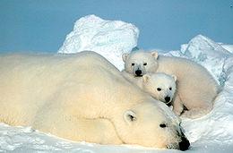 ayı Kutup Ayılarının Rengi Neden Beyazdır?