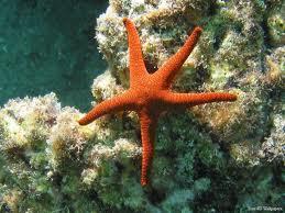 Denizyıldızının Kesilen Kolundan Yeni Denizyıldızı Oluşur Mu?