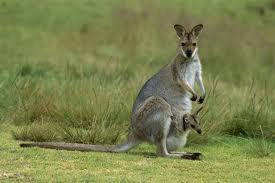 kanguru Hayvanlar Neden Kuyrukludur?