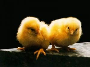 Tavuklar Kuluçkada Neden Yumurtalarını Çevirirler?