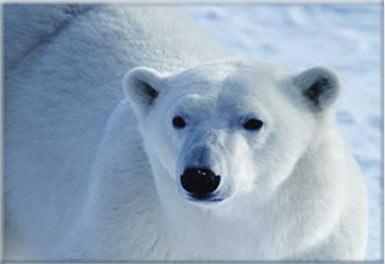 Kutup Ayılarının Rengi Neden Beyazdır?