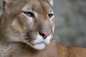 puma Kediler Hangi Özelliklerine Göre Büyük Kedi ve Küçük Kedi Olarak Sınıflandırılırlar?