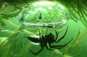 su örümceği
