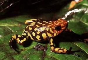 zehirli kurbağa kokoi