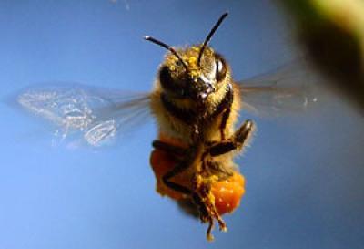 Suya Karın Üstü Düşen Bir Arı Neden Ölür?