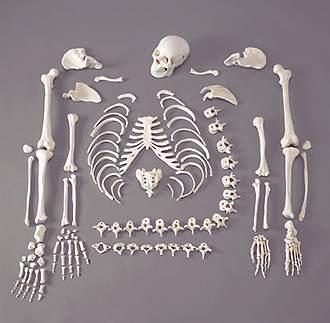 Kemiklerimiz Neden Beyazdır?