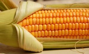 mısır 1 300x182 Rengi Sarı olduğu Halde Mısır Taneleri Patlayınca Neden Beyaz Olur?