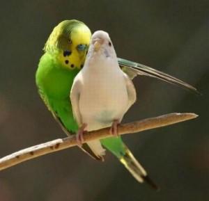 sevişen kuş