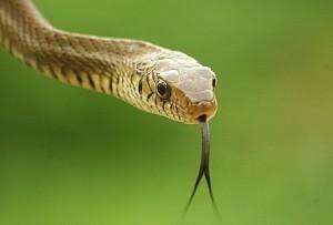 tıs tıs yılan 300x203 Yılanın Zehri Neden Kendisine Zarar Vermez?