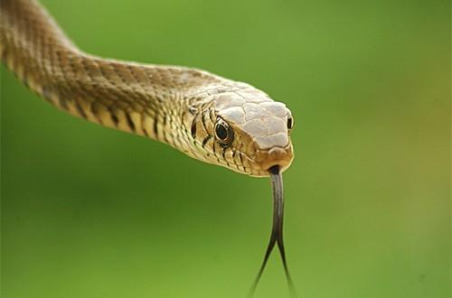 Yılanlar Dillerini Neden Hep Dışarda Tutarlar?