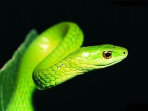 yılan 300x225 Yılanın Zehri Neden Kendisine Zarar Vermez?