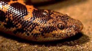 yılan2 300x166 Yılanın Zehri Neden Kendisine Zarar Vermez?