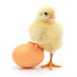 yumurta civciv