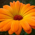614393__orange-gerbera-flower_p