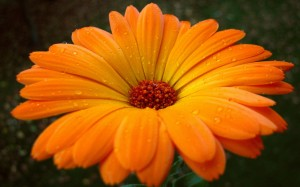 614393  orange gerbera flower p 300x187 614393  orange gerbera flower p