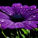 mor-çiçekler5