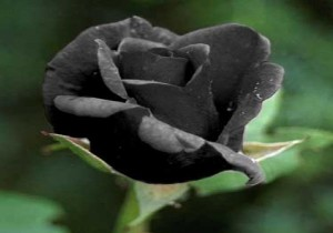 siyah-gul