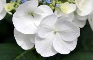 white flowers 300x194 Beyaz Rengin Anlamı