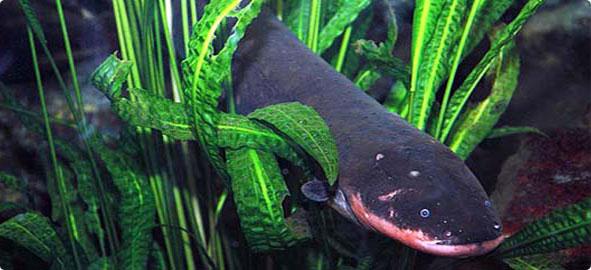 Elektrik Üreten Balıklar Hangileridir?