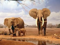 Kıymetli Fil Dişleri Fillerin Ne İşine Yarar?