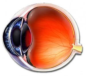 retina , göz