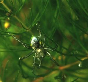 su örümcek