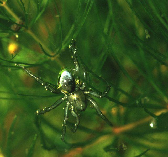 Örümcekler Suda Ağ Örebilirler Mi?