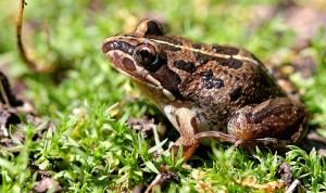 nemli kurbağa
